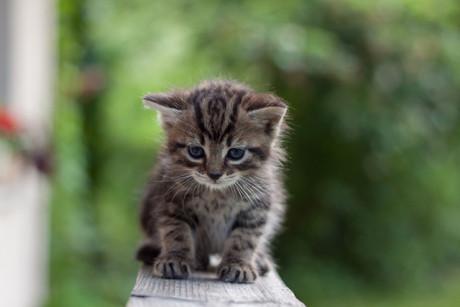 uppfostra kattunge